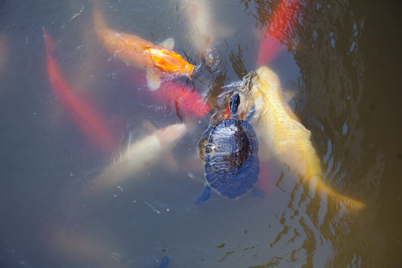 Turtle Amongst Koi