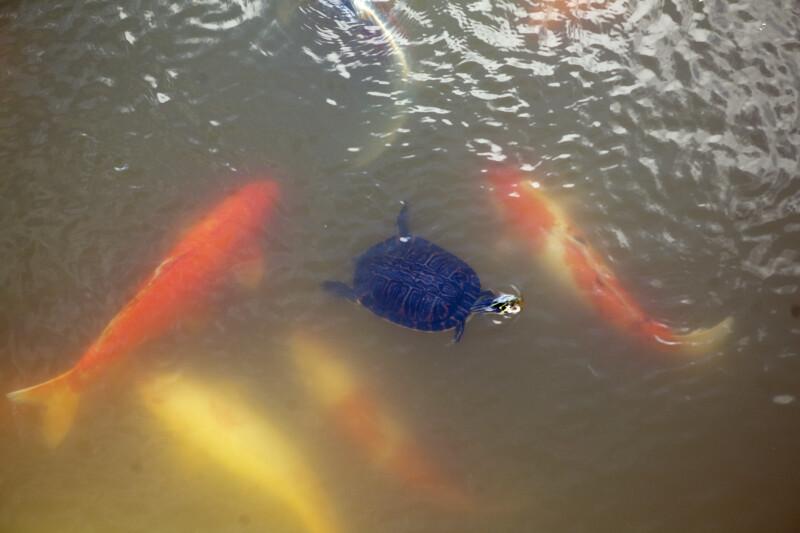 Turtle and Koi