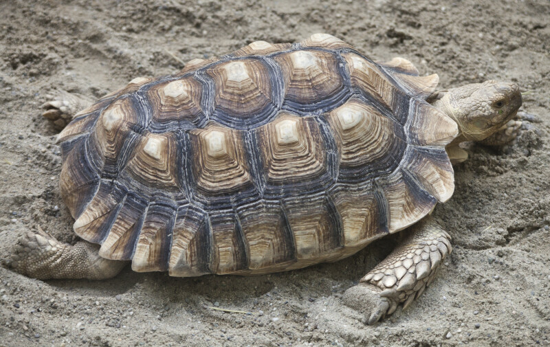 Turtle in Dirt