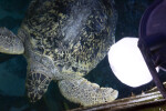 Turtle in its Tank at the New England Aquarium