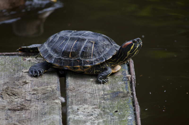 Turtle Laying on Edge of a Dock at the Artis Royal Zoo