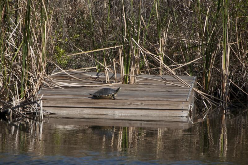Turtle on Platform