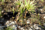 Twig and Palmettos