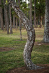 Twisted Pine Tree Trunk