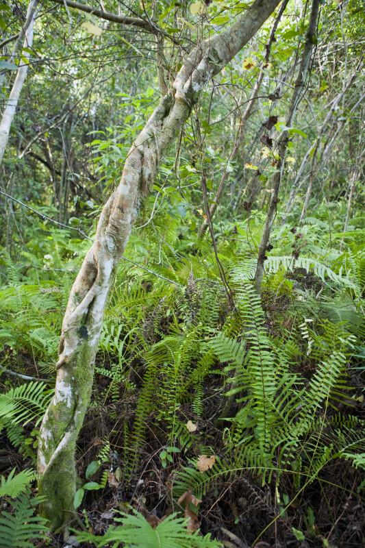 Twisted Tree Trunk Amongst Ferns
