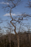 Twisting Dwarf Bald Cypress Tree Pictured Against Blue Sky