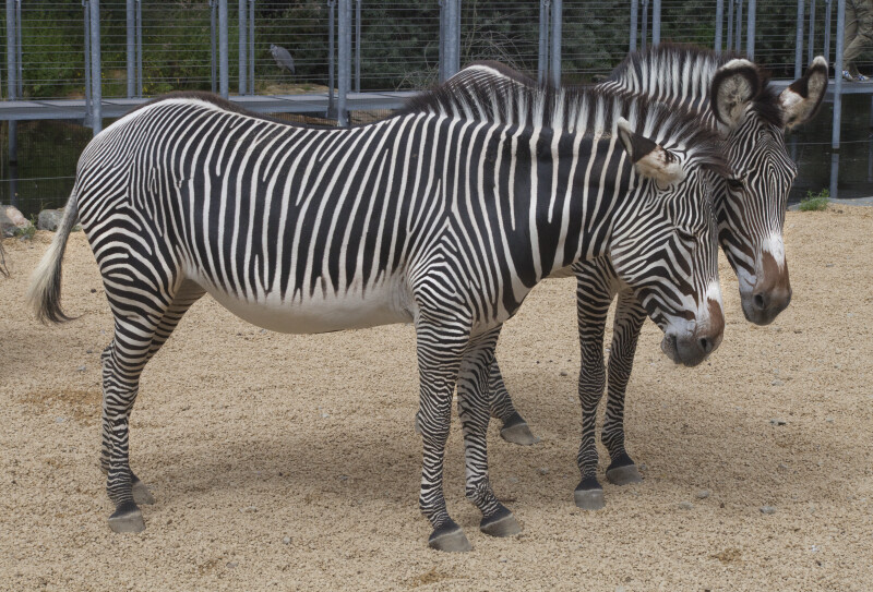 Two Adult Grevy's Zebras Standing in Gravel