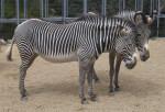 Two Adult Grevy's Zebras Standing in Gravel