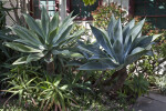 Two Agaves Amongst Other Succulent Plants  at the Rancho Los Alamitos Historic Ranch and Gardens