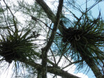 Two Air Plants