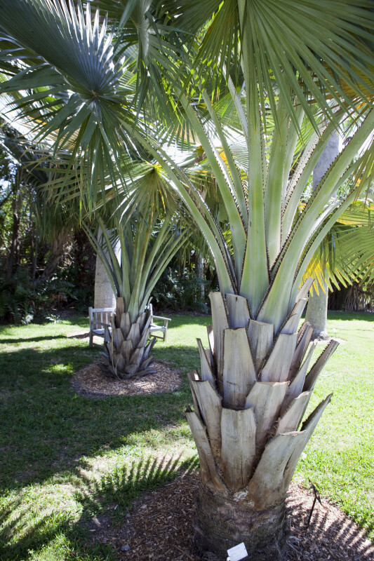 Two Bailey Palms