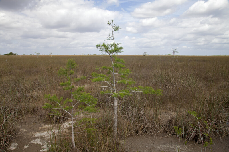 Two Bald Cypress Trees in Front of a Grass Expanse