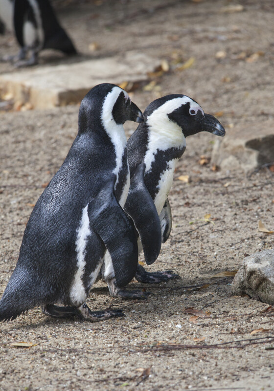 Two Black and White Penguins Standing in Dirt