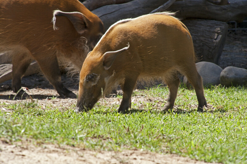 Two Bush Pigs Standing in Grass