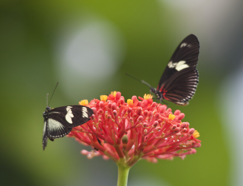 Two Butterflies near Pink Flowering Buds of Plant