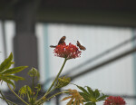 Two Butterflies on Red Flowers