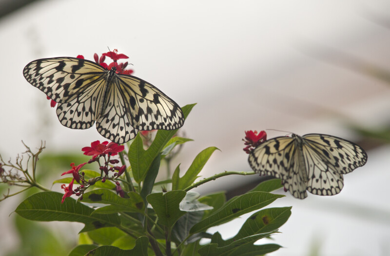Two Butterflies Pollinating Flowers at the Artis Royal Zoo