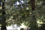 Two Coast Redwood Trees at the UC Davis Arboretum
