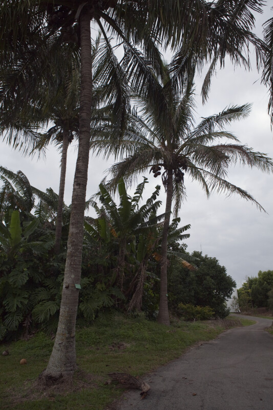 Two Coconut Palms