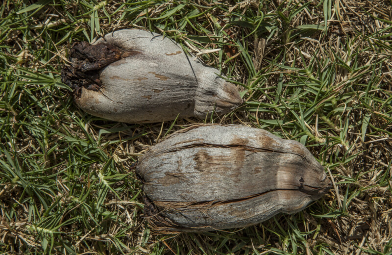 Two Coconuts on the Ground at Biscayne National Park