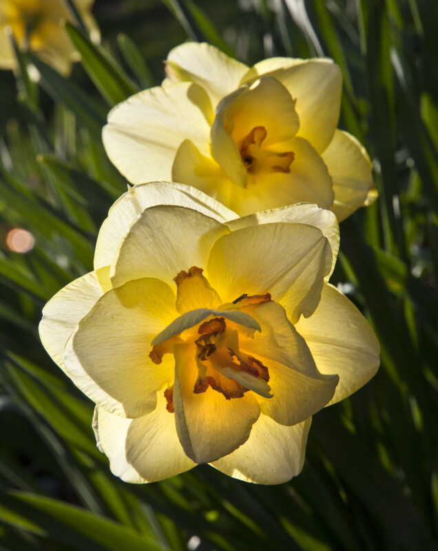 Two Double Daffodils with Many Petals