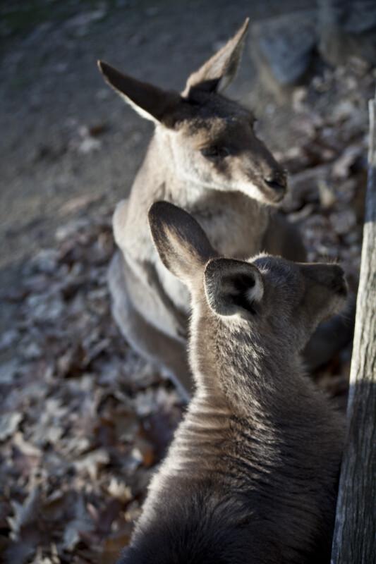 Two Eastern Grey Kangaroos