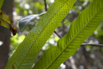 Two Fern Leaves