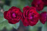 Two Floribunda 'Lavaglut' Rose Flowers