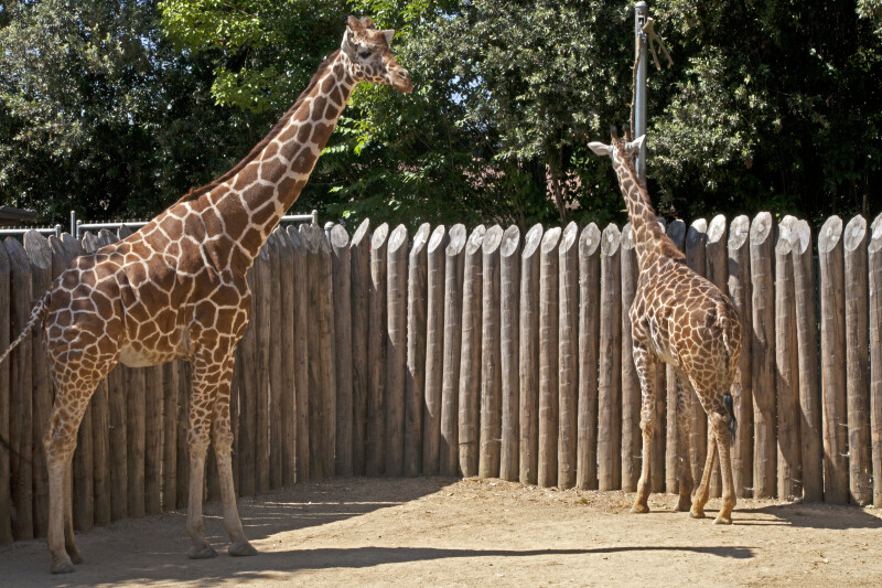 Two Giraffes Standing in Wooden Enclosure