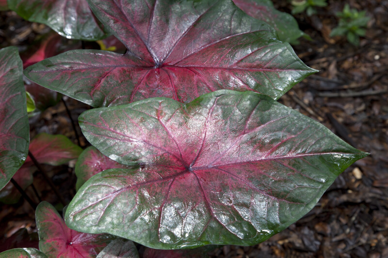 "Two Glossy ""Postman Joyner"" Elephant Ear Leaves"