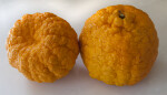 Two Gold Nugget Mandarins