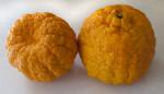 Two Gold Nugget Mandarins