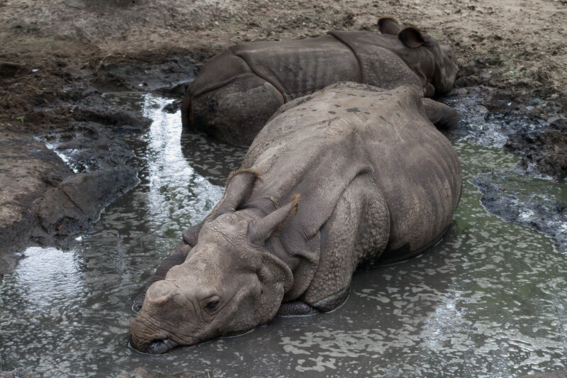 Two Greater Indian Rhinoceroses