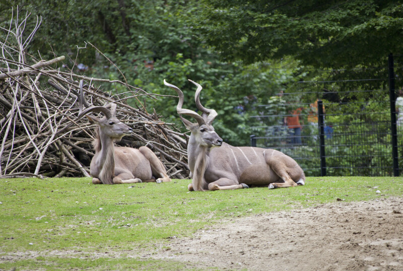 Two Greater Kudu Antelopes