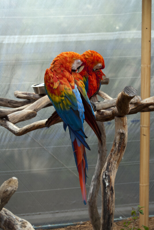 Two Green-Winged Macaws