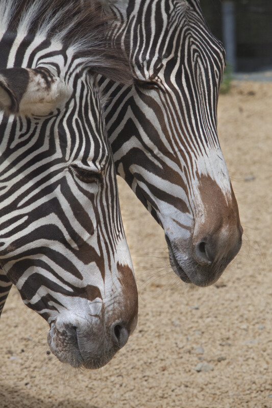 Two Grevy's Zebras Close-Up