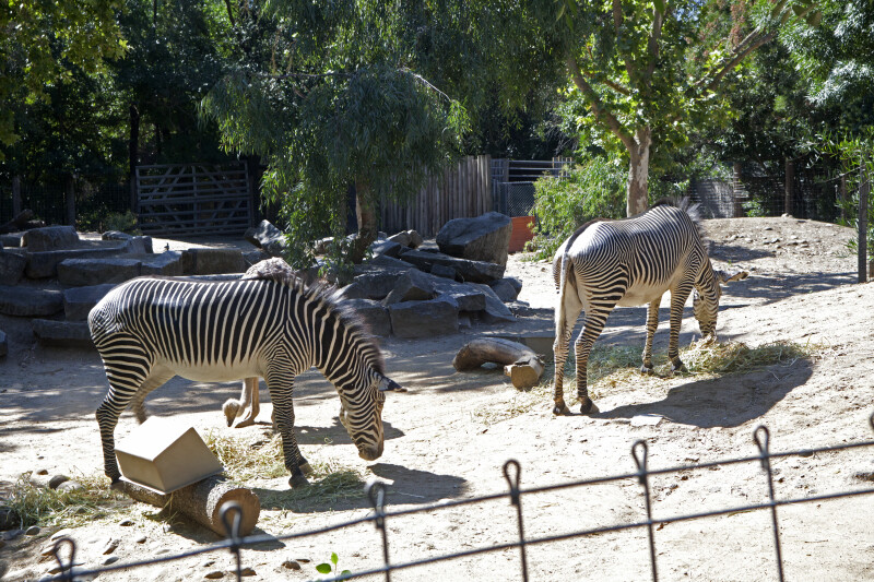 Two Grévy's Zebras Foraging at the Sacramento Zoo