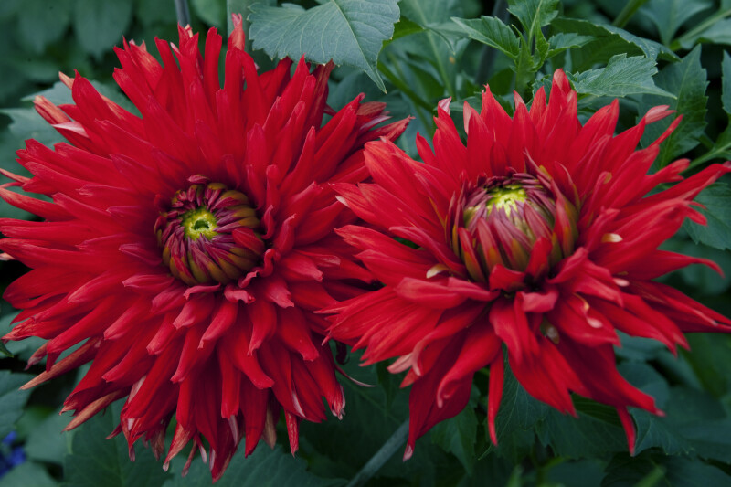 "Two ""Korsarz"" Dahlias"