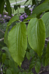 Two Leaves of a Seven Son Flower Tree