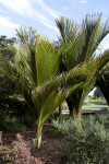 Two Nikau Palms