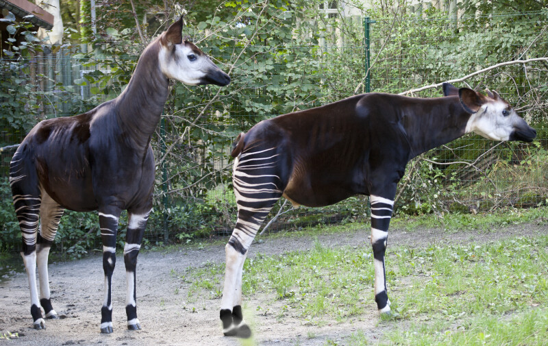 Two Okapi