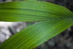 Two Palm Leaves