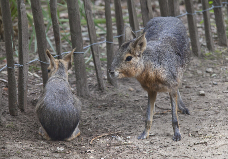 Two Patagonian Maras in an Enclosure at the Artis Royal Zoo