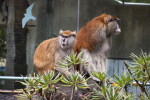 Two Patas Monkeys