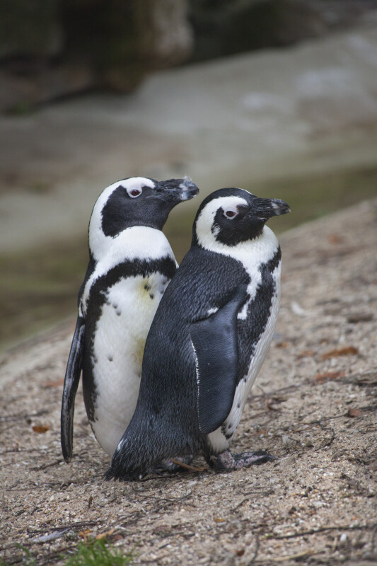 Two Penguins with Black and White Coloring