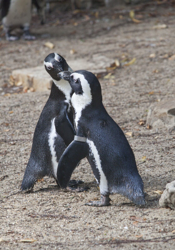 Two Penguins with their Beaks Touching at the Artis Royal Zoo
