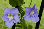 Two Purple Flowers of a Sky Vine