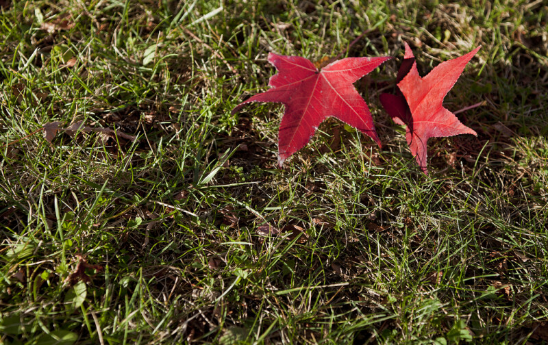 Two Red American Sweetgum Leaves in Grass at Evergreen Park