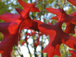 Two Red Autumn Leaves