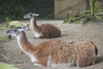 Two Resting Llamas at the Artis Royal Zoo